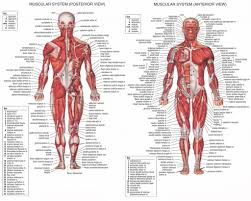 Human Anatomy Full Body Picture Lower Body Muscle Anatomy Muscle Anatomy Leg Diagram Anatomy Human
