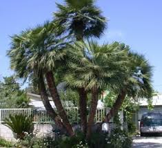 mexican fan palm growth rate palms for warm desert regions and dry dave s garden