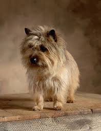 brindle cairn haircut 1256 best cairn terriers images on pinterest cairn terrier