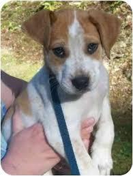 bluetick coonhound mix puppies elle adopted puppy spruce pine nc hound unknown type