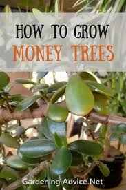 Silk Plants Direct Jade Plant Money Tree Plant Care How To Look After Your Jade Plant Money