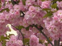 114 best ornamental trees images on flowers garden