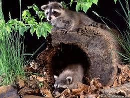 raccoon wallpapers crazy frankenstein