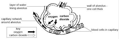 anatomy and physiology of animals respiratory system wikibooks
