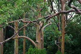 Rainbow Eucalyptus Sending Postcards Rainbow Eucalyptus Colourful Trees In Hawaii