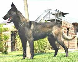 belgian sheepdog groenendael breeder interesting belgian groenendael puppy color genetics