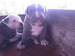 american pitbull terrier 5 months old 5 week old puppy feeding help pitbulls go pitbull dog forums