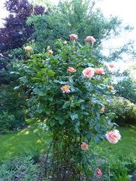 plante vivace soleil sorbet fruité