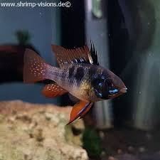 Buy Ornamental Fish Schmetterlingsbuntbarsch Black Dnz Buy Ornamental Fish