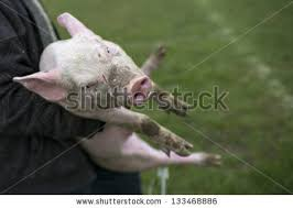 pig slaughter stock images royalty free images u0026 vectors