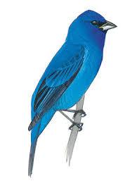 How To Attract Indigo Buntings To Your Backyard Indigo Bird John James Audubon U0027s Birds Of America