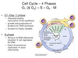 science revision notes biology notes cell division u0026 cell cycle