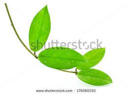 green leaf decorative ornamental species stock photo 157225946