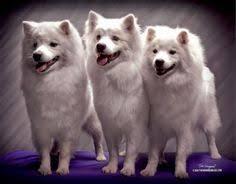 american eskimo dog breeders new england www thatdoggyinthewindow com sally huskimo female 105 00