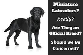 miniature labrador do they really exist