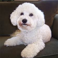 haircutsfordogs poodlemix the character of a bich poo is known to be quite affectionate and