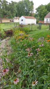 a native perennial plug planting twelve months later