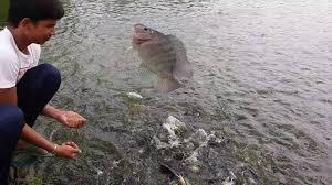 tilapia fish feeding tilapia farming in bangladesh youtube