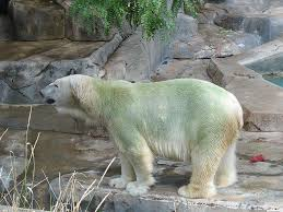 colour polar bear white yellow green earth