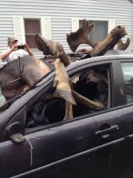 compilation of non fatal car crashes caused by deer and moose pics