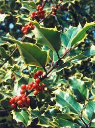 best 25 holly tree ideas on pinterest holly power celtic