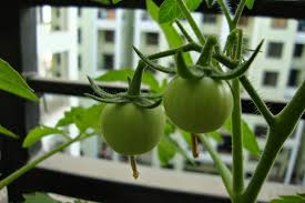 vegetable garden sun requirements urban gardens and crafts