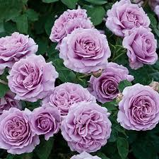 love song rose bush fragrant lavender purple flowers own