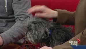 affenpinscher calgary pet of the week mikko watch news videos online