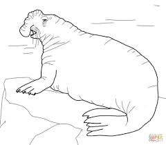 southern elephant seal coloring page free download animal