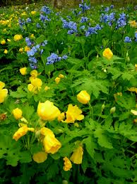native plants of virginia golden groundsel carolyn u0027s shade gardens