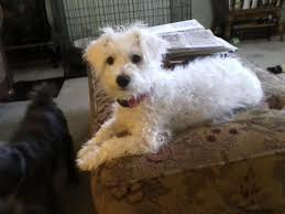 american eskimo dog poodle mix tan poodle schnauzer mix adopt a scruffy dog pinterest