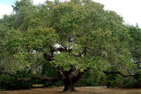 to give one of nation s oldest trees new protection