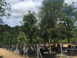 tree farm nursery in tx d b tree company