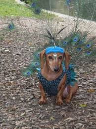 Halloween Costumes Wiener Dogs 25 Dachshund Costume Ideas Dachshund