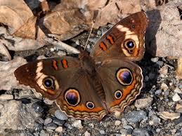 Caribbean Tan Hutchinson Ks Common Buckeye Junonia Coenia Hübner 1822 Butterflies And