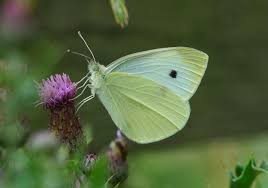 butterfly conservation small white