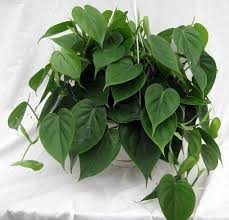 heart leaf philodendron easiest house plant to grow 4