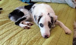 australian shepherd rescue nc courtesy listing carolina hearts aussie rescue