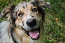 australian shepherd and golden retriever mix australian shepherd archives carolina hearts aussie rescue