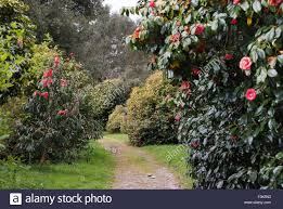 tregothnan estate gardens cornwall famous for its camellias and