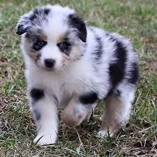 australian shepherd akc 79 best australian shepard images on pinterest animals aussie
