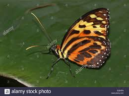 harmonia tiger wing butterfly stock photos harmonia tiger wing