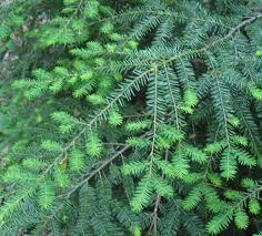 native tennessee plants native evergreens using georgia u0027s native plants