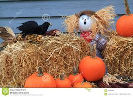 humorous thanksgiving images scarecrow surprised by crow eating corn under his watch stock