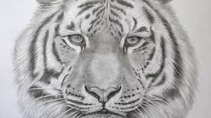 pencil sketches of tiger how to sketch a tiger step by step
