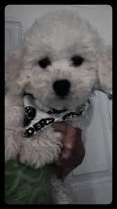 bichon frise 6 years old home grooming care questions u2013 bichon frise u2013 iheartdogs com