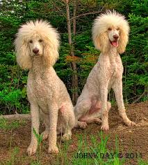 haircutsfordogs poodlemix 109 best oodles of poodles images on pinterest hairstyles