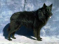 belgian sheepdog youtube groenendael shepherd dog dog breeds belgian shepherd