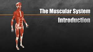 Anatomy Of Body Muscles The Muscular System Explained In 6 Minutes Youtube