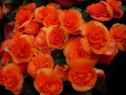 free photo ornamental flower tuber crop free image on pixabay